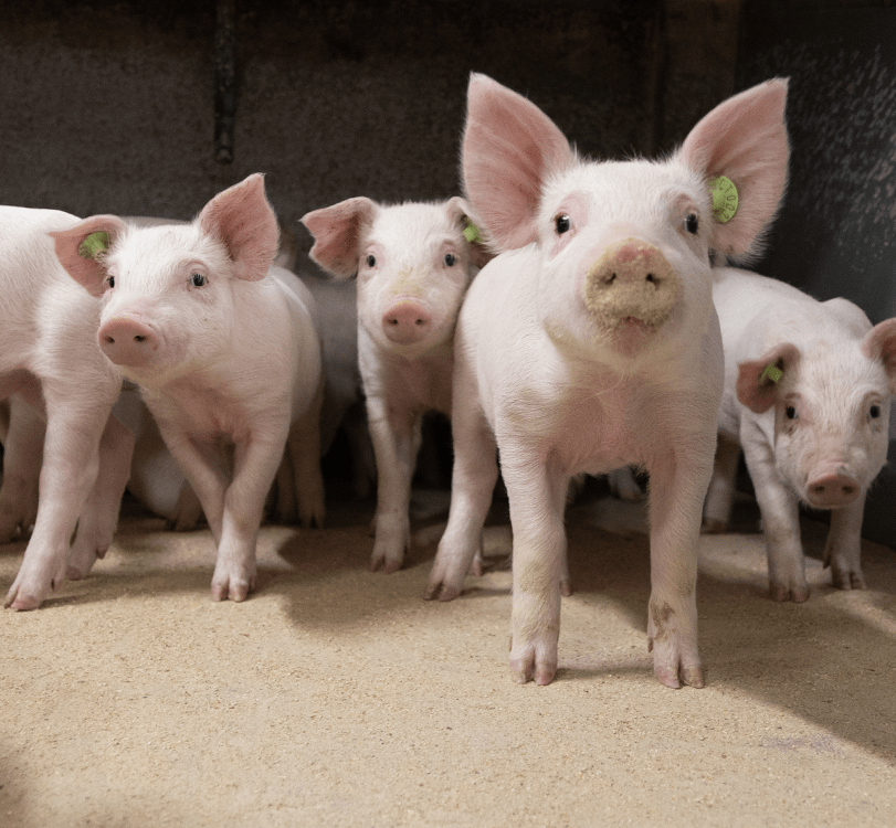 pig_production